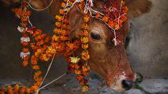 - Uma vaca enfeitada com guirlandas é retratada durante uma cerimônia religiosa em Kathmandu, no Nepal. Foto: Navesh Chitrakar / Reuters