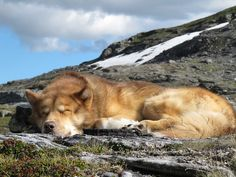 Greenland Dog (Grønlandshund). Unique Dog Breeds, Rare Dog Breeds, Popular Dog Breeds, Greenland Dog, Spitz Dogs, American Akita, Japanese Spitz, Dog Poses, Alaskan Malamute