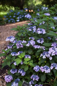 Twist-n-Shout Hydrangea flowers on both old and new growth all summer long. Gorgeous blossoms of pink or periwinkle blue, depending upon your soil type, encircle the abundant blooms that feature a lacy deep-pink center. Hydrangea Shrub, Hydrangea Care, Hydrangeas, Hydrangea Types, Endless Summer Hydrangea, Hydrangea Not Blooming, Twist And Shout Hydrangea, Hydrangea Landscaping, Vegetable Gardening