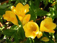 Las Fresias , Freesia hybrida, son plantas tuberosas procedentes de Sudáfrica, de la familia de las iridáceas, y por su gran variedad, combinación de colores, sencillez de cultivo e intenso perfume, deberían ser más populares de lo que son.