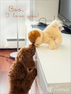 Boo, I love you! #puppy #dog #toypoodle #poodle