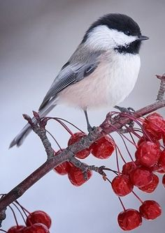 Chickadees - So cute and adorable!