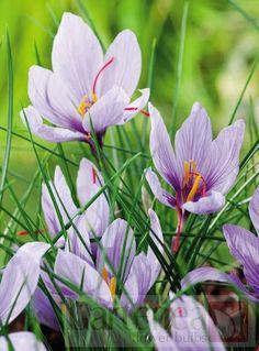 Crocus sativus (SafranCrocus)