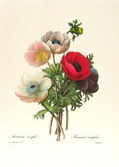 https://flic.kr/p/9Ymft3 | Redoute Art Flowers, Fruits