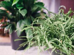 From low-maintenance ficus trees to fickle ferns, check out these designer-approved houseplants and our tips for keeping them lush and lovely.