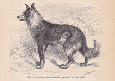 Schäferhund Hirtenhund Shepherd Dog HOLZSTICH von 1890 wood engraving Gravure