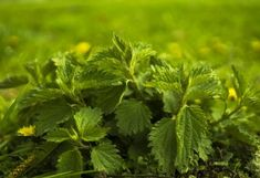 hair green plant leaf leaves of green nettle nettle Nature Plants, Cool Plants, Anemia, Natural Testosterone, Indoor Trees, Mosquito Repelling Plants, Gota, Medicinal Plants, Diabetes