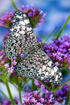 Variable Cracker Butterfly.  Flower | Nature | Inspiration | Katharine Kidd