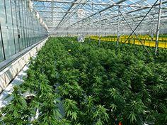 Plantacja marihuany szklarnia