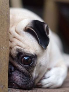 This sad Pug needs help finding the perfect name. Won't you help? Here's a few ideas... http://www.dog-names-and-more.com/Pug-Names.html