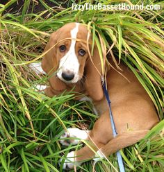 But why would we go inside when there's still so many sniffs to be sniffed? - Izzy the Basset Hound