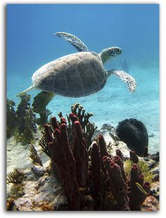 Snorkel w. the sea turtles at Culebra Island! I want to do this :)