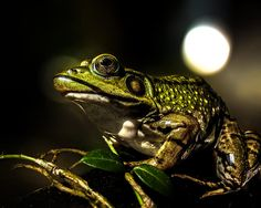 And this frog can sing - Original fine art frog photography by Bob Orsillo   Copyright (c)Bob Orsillo / http://orsillo.com - All Rights Reserved.  Buy art online.  Buy photography online