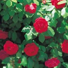 How to grow roses from rose hips. Jupiterimages/Photos.com/Getty Images
