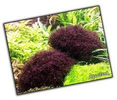 Caloglossa beccarii / Red Moss - Purple #Moss #RedMoss #PurpleMoss