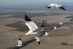 Image A flock of endangered whooping cranes led by an ultralight enters the skies over Kentucky on their way to their wintering sites in Florida, Nov. Most Beautiful Birds, Beautiful World, Beautiful People, White Crane, Bird Migration, Crane Bird, Endangered Species, Planet Earth, Beautiful Creatures