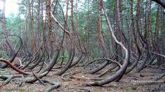 Космопоиск изучает аномальный лес в Рязанской области (6 фото) Crooked Forest, Creepy, Outdoor Decor, Plants, Plant, Planets