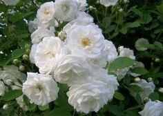 Неземная красота белой розы сделала её популярной