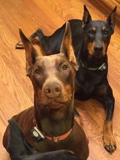 The Doberman Pinscher is among the most popular breed of dogs in the world. Known for its intelligence and loyalty, the Pinscher is both a police- favorite White Doberman Pinscher, Doberman Love, Doberman Shepherd, Huge Dogs, Dog Pictures, Dog Breeds, Dogs And Puppies, Dog Lovers, Dog Cat