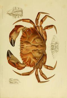 f.7 (Crustacés décapodes) - Résultats des campagnes scientifiques accomplies sur son yacht - Biodiversity Heritage Library