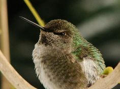 See pictures of hummingbirds (including swifts, Anna's hummingbirds, and more) in this birds photo gallery from National Geographic.