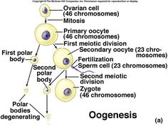 Oogenesis is a monthly event that produces haploid egg by meiosis. Embryonic development of ovary occurs and by puberty 400,000 oocytes remain. FSH stimulates completion of meiosis I, which produces secondary oocyte and 1st polar body, then proceeds to meiosis II and ceases until fertilization, and then after fertilization a 2nd polar body is released.