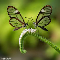 Glasswinged butterflies