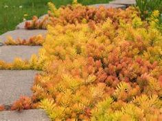"SEDUM ""ANGELINA"" This is the coloration when the weather turns cool. vetplant bodembedekker"