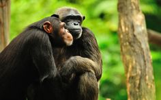 Experts Tell NIH to Retire Most Research Chimps, But Not All