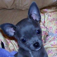 Blue chihuahua...... Looks exactly like my little Chubbs!