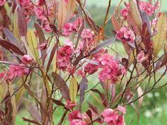 10 Dodonea viscosa purpurea Hardy Cold Evergreen Tree Hedge Medicinal Soap Bush