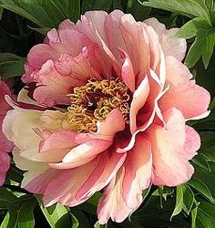 Itoh Peonies HILLARY, Peony Farm, WA, itoh peonies for sale