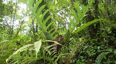 Aglaomoroha Brooksii Sabah州Tambunan