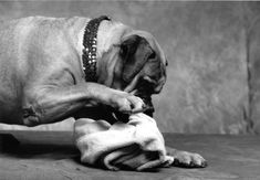 No one wants  Bullmastiff who trashes the house, or your serenity. Here's how to raise one. Modern Molosser  |  www.modernmolosser.com