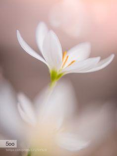 white windflower by miyakokomura. Please Like http://fb.me/go4photos and Follow @go4fotos Thank You. :-)