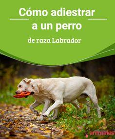 Raza Labrador, Nirvana, Pet Shop, Thor, Candy, Dogs, Animals, Sleeping Dogs, Gatos