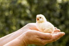 Small chicken in hands | Free Photo #Freepik #freephoto #bird #animal #farm #chicken Small Chicken, Baked Chicken Drumsticks, Female Farmer, Rainbow Background, Quail Eggs, Funny Couples, Baby Chicks, Dark Skin, Flat Design