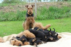 Airedale Terrier dad looks on as mom nurses the puppies Terrier Airedale, Welsh Terrier, Fox Terrier, Cute Puppies, Cute Dogs, Dogs And Puppies, Animals And Pets, Cute Animals, English Shepherd