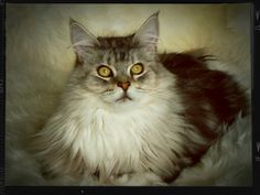 Maincoon cat