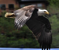 One of Walt's eagle pictures from Alaska