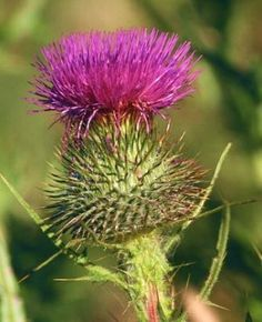 Every school-child in Scotland learns the legend of how the thistle saved the country in the Middle Ages, when the Scots and Norsemen were at war. Under cover of darkness, the Norsemen landed unobserved on the coast of Scotland. Removing their boots, they crept on bare feet toward the unsuspecting Scottish army. Suddenly, a cry of pain shattered the stillness: A Norse soldier had stepped on a thistle. Alerted to the attack, the Scots sprang into action and drove the invaders from their…