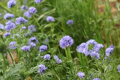 California Native - Globe Gilia