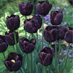 Paul Scherer Tulips  £3.95