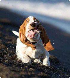 Basset running...