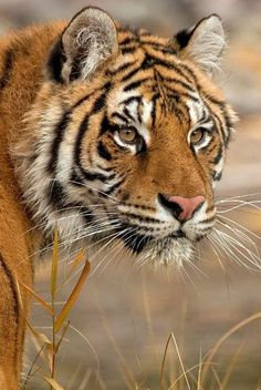 tiger by Charles Glatzer Big Cats, Cool Cats, Cats And Kittens, Beautiful Cats, Animals Beautiful, Pretty Cats, Beautiful Pictures, Tiger Pictures, Animal Pictures