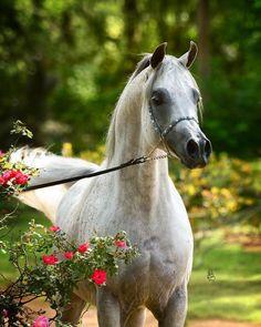 Arabian Horse. Arabian horses