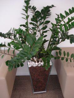 Zz plant zamioculcas or zz fits just about every need for Planta ornamental zamia