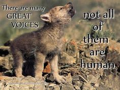 native american quotes about wolves   Voices   Penspen's Blog