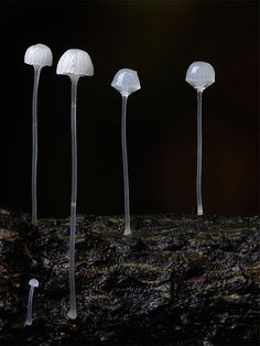 Sentinels - Clear mushrooms Photographed by Steve Axfordby