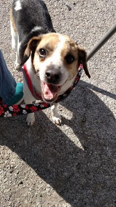 Franklin - Autumn Acres in Kansas City - ADOPT OR FOSTER - 10 year old Neutered Male Rat Terrier Mix - Being in a No Kill facility isn't enough! This boy needs a home and a family to love. Please share! ADOPTING FROM A RESCUE SAVES THE DOG ADOPTED AND MAKES ROOM FOR ANOTHER TO BE RESCUED!